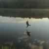 Bald eagle hunts at Searsville Reservoir