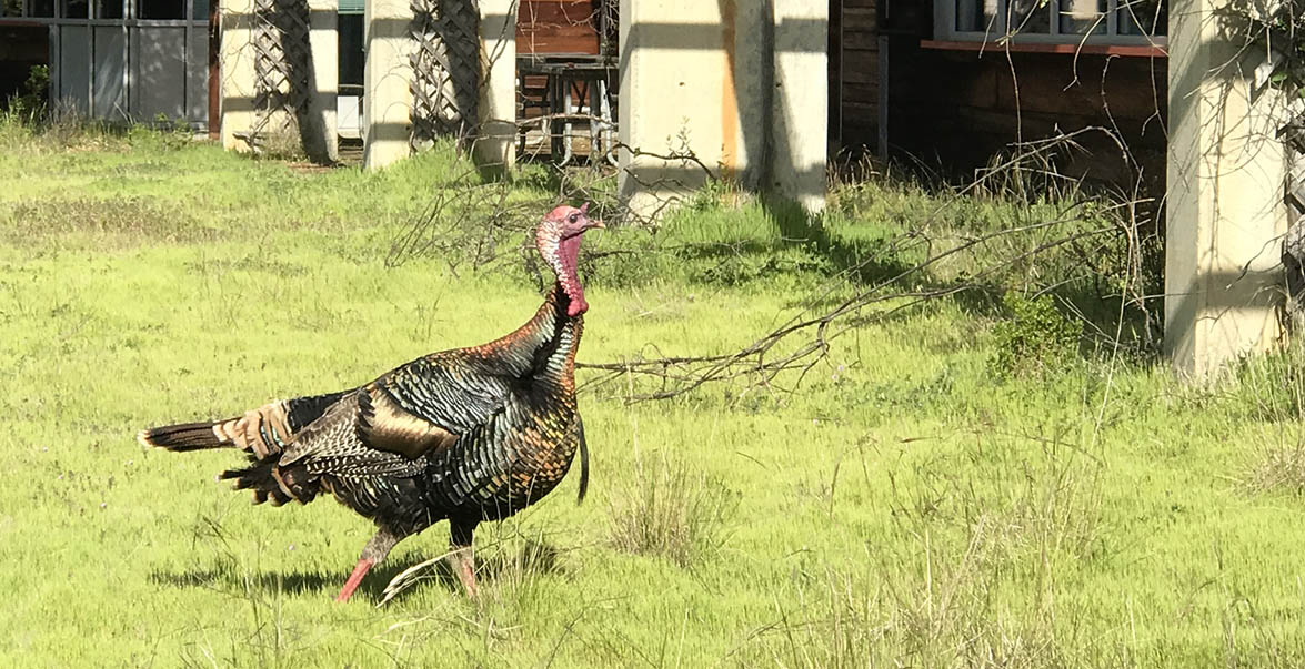 Wild turkey out Sun Field Station.